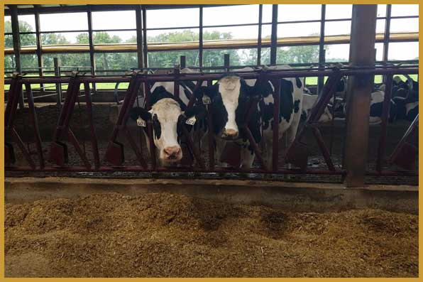 free choice dairy feed